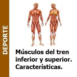 Músculos del tren inferior y superior. Características.